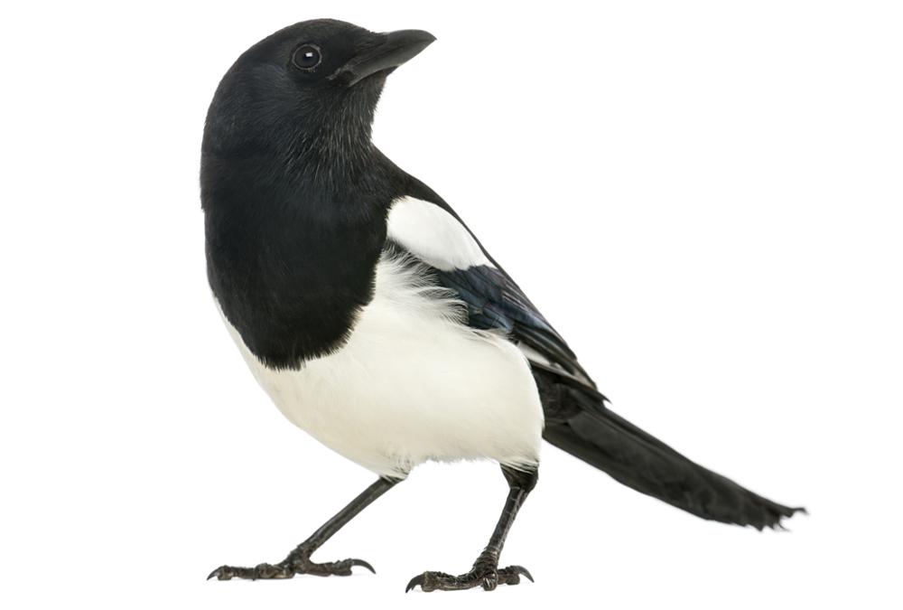 magpies deutsch